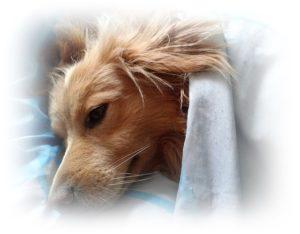 犬が布団で寝ている
