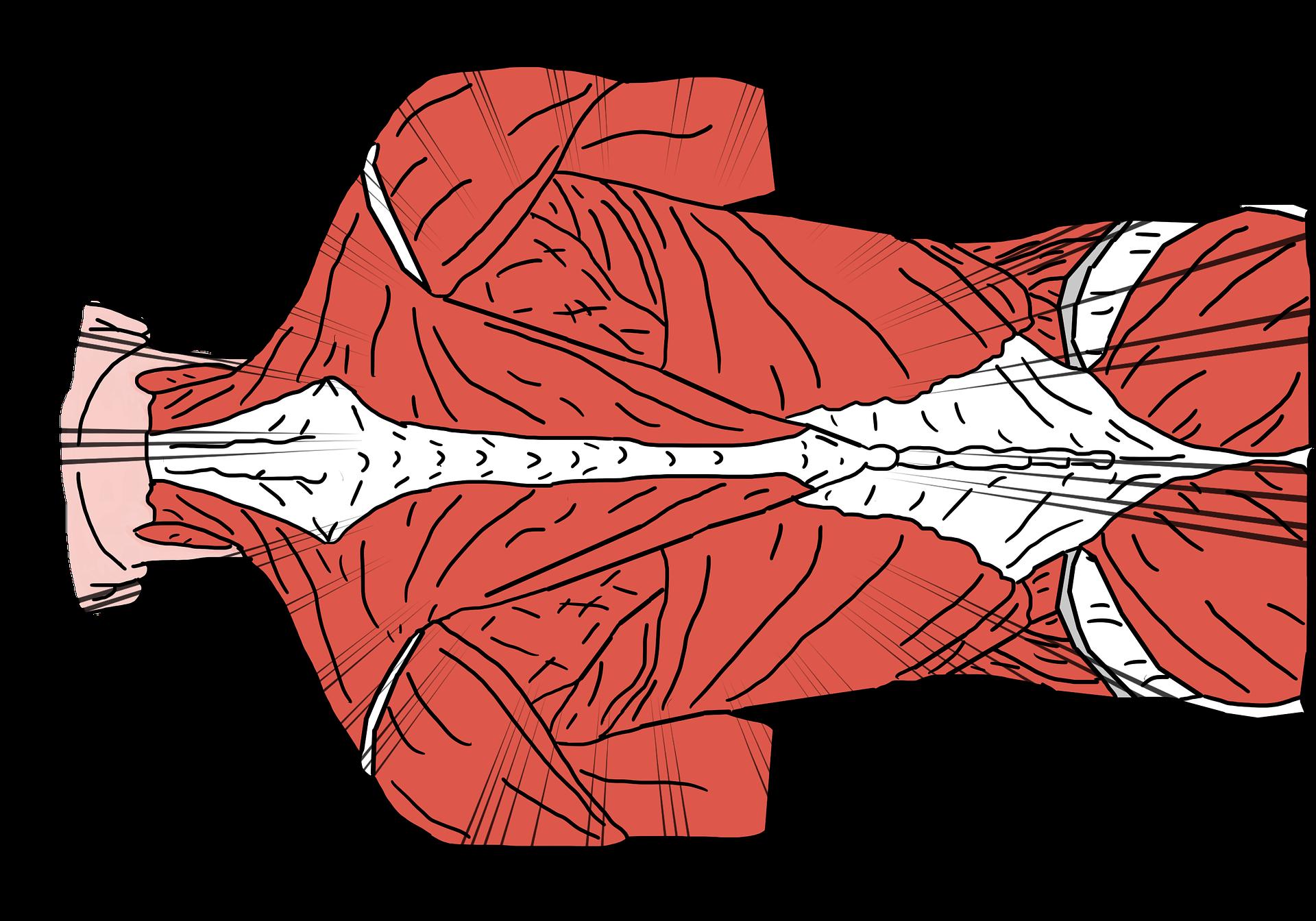 背中の筋肉の絵