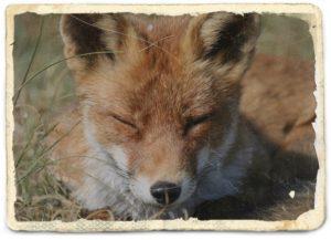 狐が寝ているところ