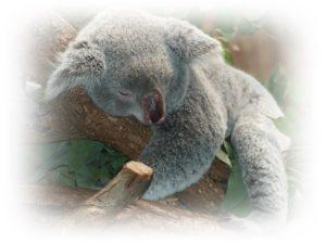 コアラが寝ている