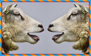 羊が会話しているところ