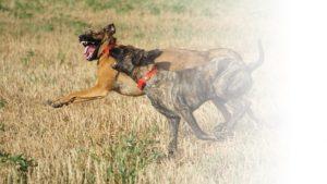 2匹の犬が走る