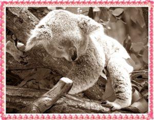 コアラが寝ているところ