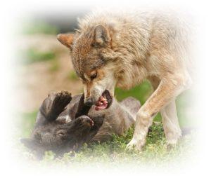 狼が遊んでいるところ