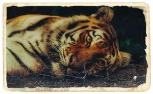 虎が寝ているところ
