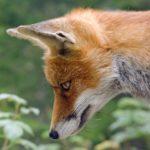 狐がにらんでいるところ