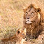 横になっているライオン