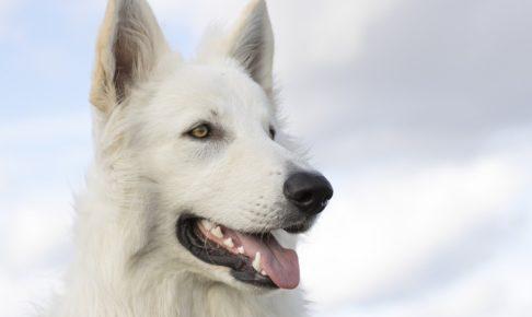 白い犬がまっすぐ見ているところ