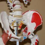 股関節の骨