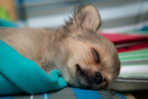 チワワが寝ているところ