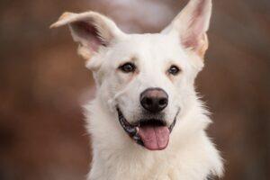 白い犬の顔